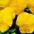 Violas: Viola Cornuta, 'Patiola® Pure Yellow'