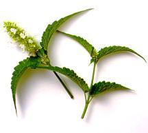 Hyssop, White-flowered Anise