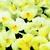 Violas: Viola Cornuta, 'Rocky™ Cream W/Yellow Lip'
