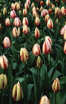 Tulips_tulipa_ice_follies-1.full