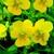 Violas: Viola Cornuta, 'Rocky™ Golden Yellow'
