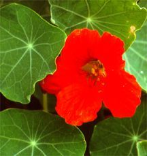 Nasturtium, 'Empress of India'