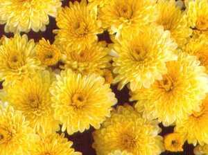 Mum, Garden 'Yellow Valour'