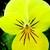 Violas: Viola Cornuta, 'Rocky™ Lemon Yellow'