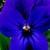 Violas: Viola Cornuta, 'Rocky™ Neon Violet'
