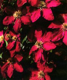 Clematis, Large-Flowered 'Niobe'