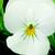 Violas: Viola Cornuta, 'Rocky™ Pure White'