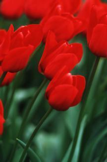 Tulips_tulipa_bastogne-1.full