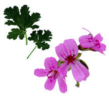Scented Geranium, Peacock Rose