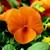 Violas: Viola Cornuta, 'Rocky™ Tangerine'