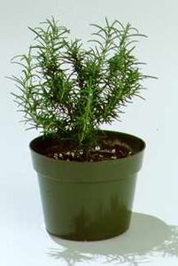 Rosemary, Indoor Upright