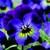 Violas: Viola Cornuta, 'Rocky™ Violet Blue'