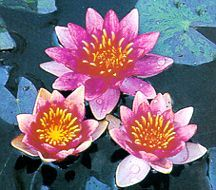Water Lily, 'Indiana' Hardy