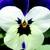 Violas: Viola Cornuta, 'Rocky™ White W/Purple Wing'