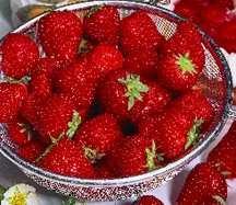 Strawberry, 'Surecrop' #25