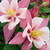 Columbine: Aquilegia 'Origami™ Pink & White' (Origami Series)