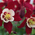 Columbine_aquilegia_origami_tm_red_white_butterfly_series-1.small