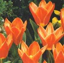 Tulips_tulipa_shakespeare-1.full
