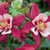 Columbine: Aquilegia 'Origami™ Rose & White' (Butterfly Series)