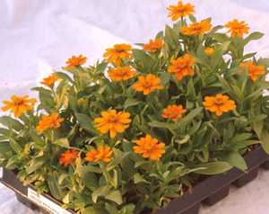 Zinnia , Orange Profusion