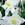 Columbine: Aquilegia 'Origami™ White' (Origami Series)