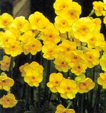 Daffodils_and_narcissus_narcissus_jonquilla_sundisc-1.full