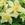 Columbine: Aquilegia 'Origami™ Yellow' (Origami Series)