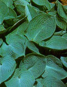 Hostas_hosta_tardiana_x_hadspen_blue-1.full