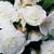 Begonias_begonia_go_go_appleblossom-1.small