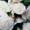 Begonias_begonia_go_go_appleblossom-1.thumb