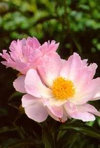 Peony, Single 'Pink Princess'