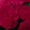 Begonias_begonia_go_go_cherry-1.thumb