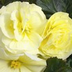 Begonias_begonia_go_go_light_yellow-1.thumb