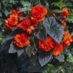 Begonias_begonia_go_go_orange-1.thumb