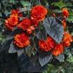 Begonias_begonia_go_go_orange-1.thumb