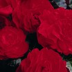 Begonias_begonia_go_go_red-1.thumb