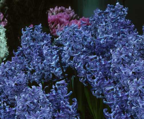Hyacinths_hyacinthus_orientalis_delft_blue-2.full
