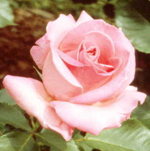 Rose, Grandiflora 'Queen Elizabeth'