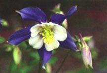 Columbine, 'Heavenly Blue'