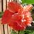 El_capitolio_hibiscus_112909.small