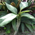 Plumeria_baby_112909.small