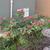 Powderpuff_bush_112909.small