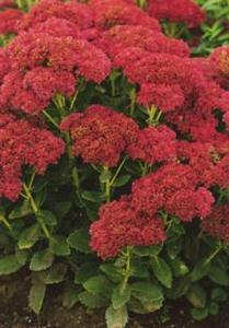 Stonecrop, 'Autumn Joy'