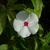 White_vinca_112909.small