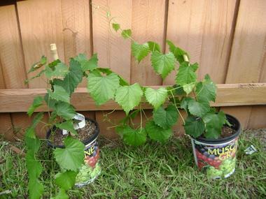 Muscadine_grape_vines_in_pots_112909.detail