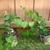 Muscadine_grape_vines_in_pots_112909.small