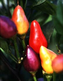 Peppers_capsicum_annuum_bolivian_rainbow-1.full