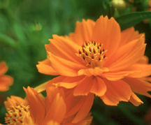 Cosmos, Cosmic Orange