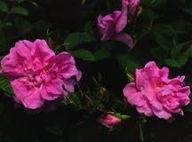 Rose, Old European Antique 'Autumn Damask' (1819)