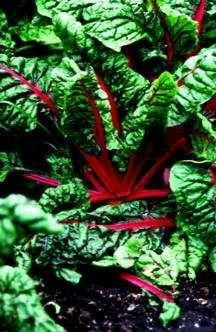 Greens_and_lettuce_beta_vulgaris_subsp._cicla_var._flavescens-1.full